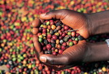 Indian Coffee Industry Assessed in New SRI Study Now Available at MarketPublishers.com
