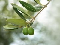 Olive Allergy Therapeutic Pipeline Reviewed in New Global Markets Direct Study Published at MarketPublishers.com