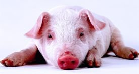 China Swine Vaccine Market Analysed & Forecast by BSNABC in-Demand Report Now Available at MarketPublishers.com