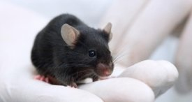 Global Mice Model Market Analysis & Forecast Available in New Cutting-Edge M&M Report Published at MarketPublishers.com