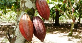 Malaysia Cocoa Industry Assessed & Forecast in Smart Research Insights Report Published at MarketPublishers.com