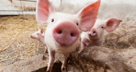 Pork Imports in China Tend to Increase, Says CRI in Its New Research Study Now Available at MarketPublishers.com