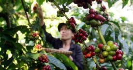Planting Area of Coffee Beans in Vietnam Expands Continuously, States CRI in Its In-demand Report Published at MarketPublishers.com