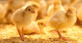 Indian Poultry Feed Sector to Post Around 8% CAGR During 2019-2020, Projects RNCOS in Its New Report Available at MarketPublishers.com