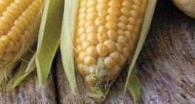 World Sweet Corn Seed Market Performance Discussed by 99Strategy in Its In-demand Report Published at MarketPublishers.com