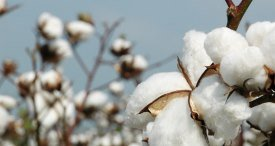 Global Cotton Market to See Modest Growth in Coming Years