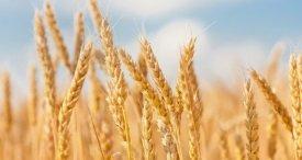 2019 / 20作物シーズンで跳ね返る世界的な小麦生産